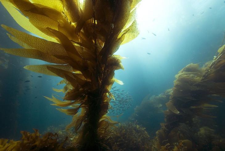 Бурые водоросли ламинария польза для кожи